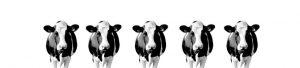 Koeien op spatwand